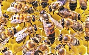 Пчелиная матка - глава семьи