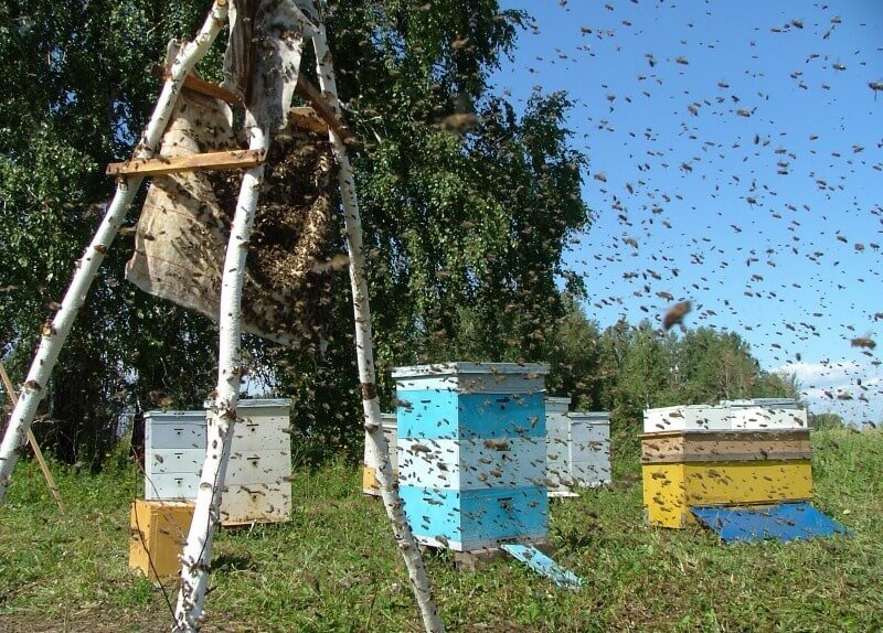 Ловля пчел Как поймать пчелиный рой в пустой улей или в ловушку