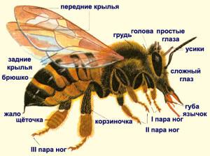 Пчела настоящая - строение