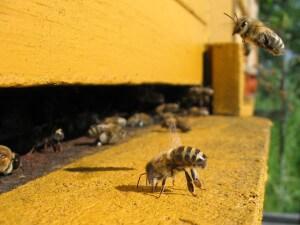 Свой дом пчела находит безошибочно
