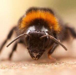 Больная пчела