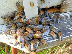 Чем отличаются пчелы-трутовки
