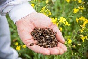 Даже мертвые пчелы приносят пользу