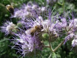 Фацелия - медонос и пыльценос