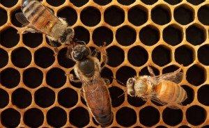 Как развивается пчеломатка