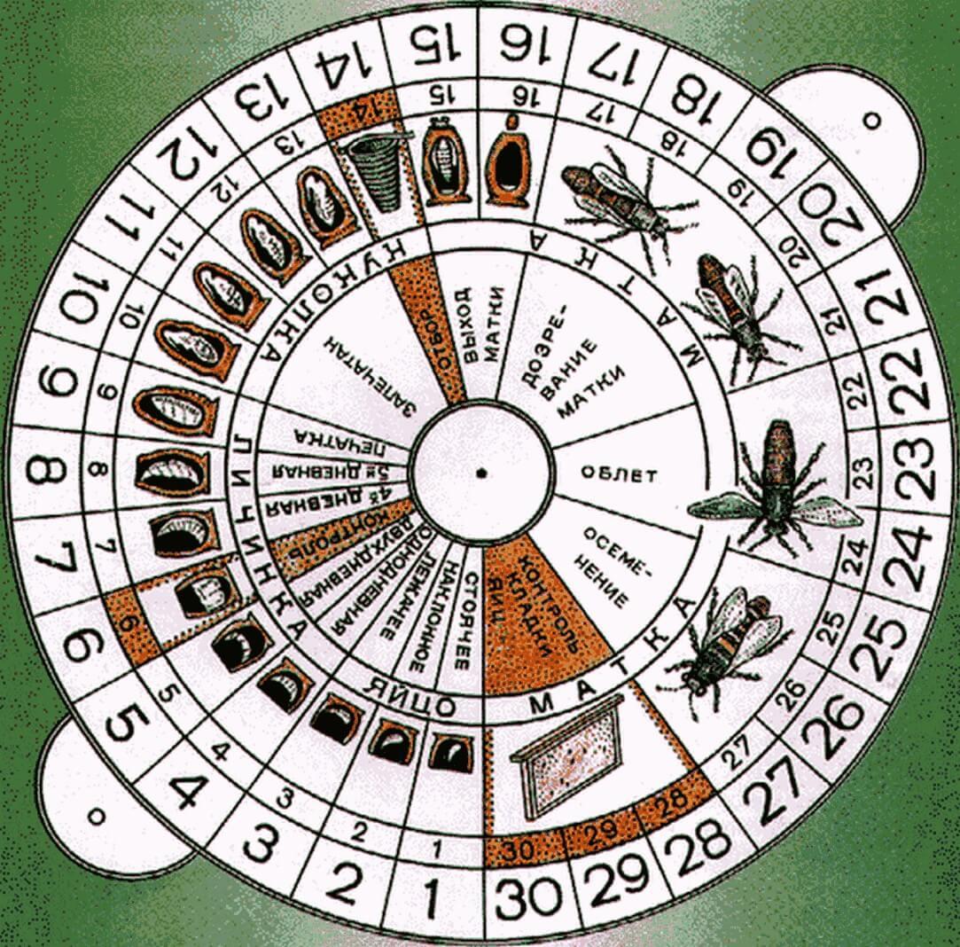 Календарь вывода пчеломатки