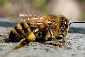 Кавказская горная пчела