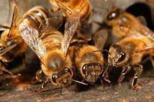 Здоровые пчелы - большой взяток