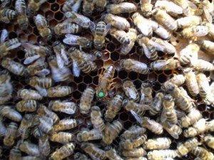 Маркированная пчеломатка