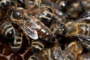 Матка - пчелиная царица