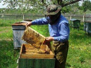 Опытный пчеловод не позволит пчелам роиться