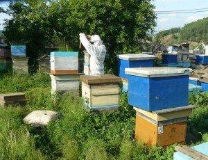 Пчел переселяют ясным вечером