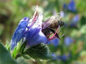 Пчела на синяке обыкновенном