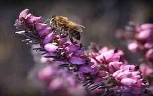Пчела на вереске