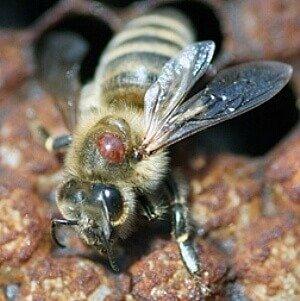 Пчела с варроатозом