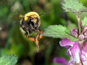 Пчела с взятком
