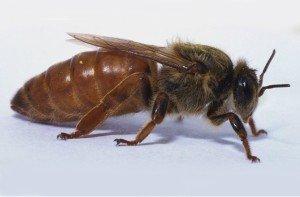 Матка - королева пчелосемьи