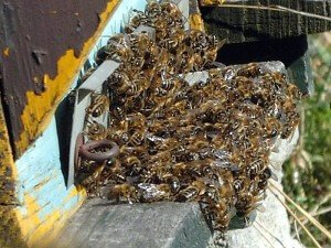 Причины роения пчел