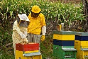 Правильный уход за пчелосемьей предотвратит роение