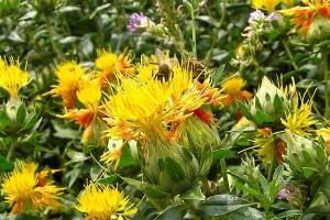 Сафлор - богатый источник пыльцы