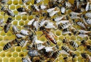 Тихая смена матки участия пчеловода не требует