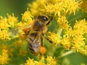 В чем польза пчелиной пыльцы