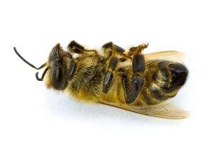Век пчелы недолог
