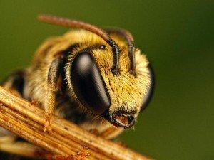 Здоровые пчелы - залог успеха