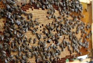 Американский гнилец быстро убивает всю пчелосемью