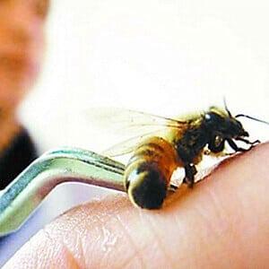 Лечение варикоза пчелами (пчелиным ядом, укусами пчёл)