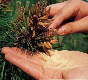 Как собрать пыльцу сосны