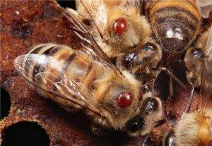 Клещи варроа на пчелах