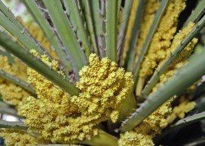 О пользе пальмовой пыльцы