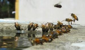 Подкормка пчел сиропом с нозематом