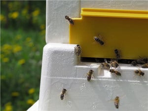 Некачественный материал пчелы грызут