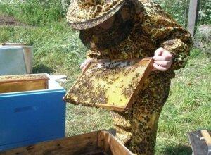 Особенности пчеловождения в улье Дадана
