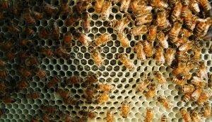 Пчелы на пластиковой вощине