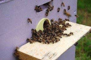 Пчелы в улье-лежаке более активны
