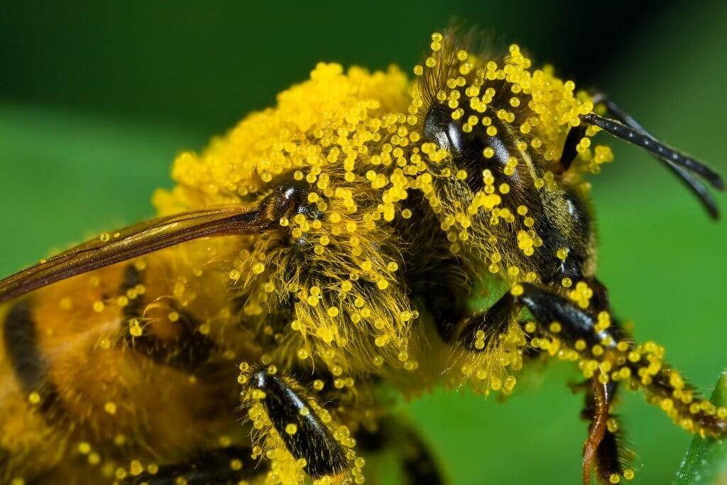 Пчелиная пыльца обножка