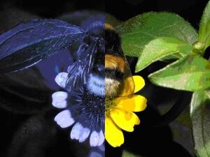 Восприятие оттенков пчелой