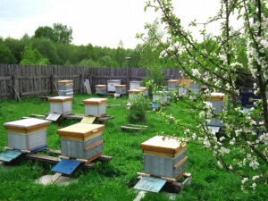 Содержание пчел в населенных пунктах