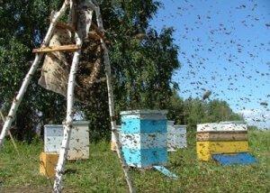 Встревоженные семьи пчел