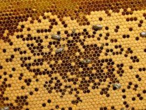 Молодые пчелы