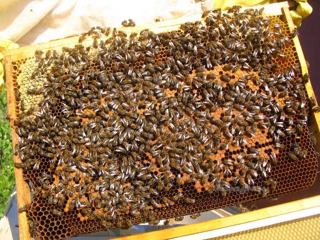 Активные здоровые пчелы