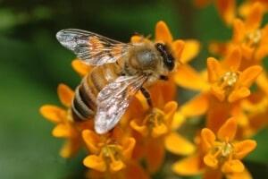 Башкирская пчела за работой