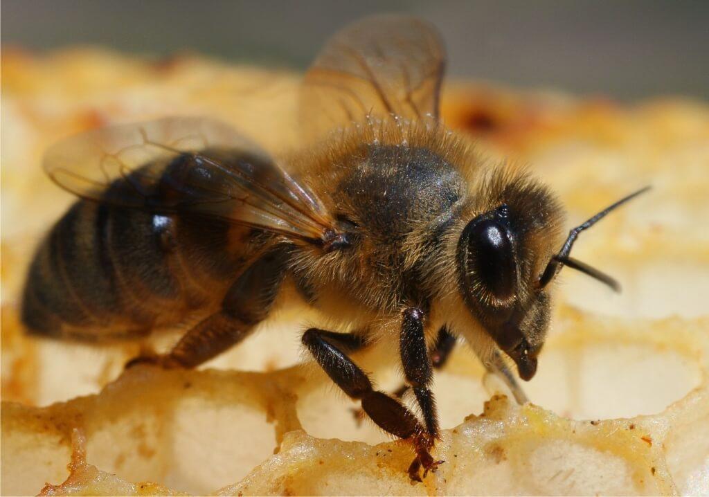 Бортевая пчела
