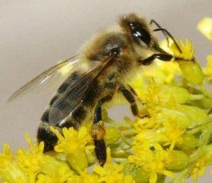 Пчела итальянка на цветке