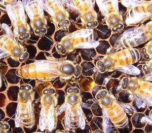 Матка итальянской породы пчел