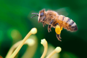Итальянская пчела в полете