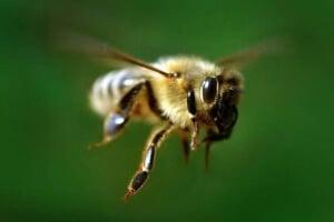 Пчела в полете